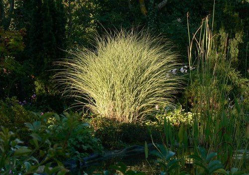 miscanthus-Morning-Light-Zeph-8-09-11.jpg