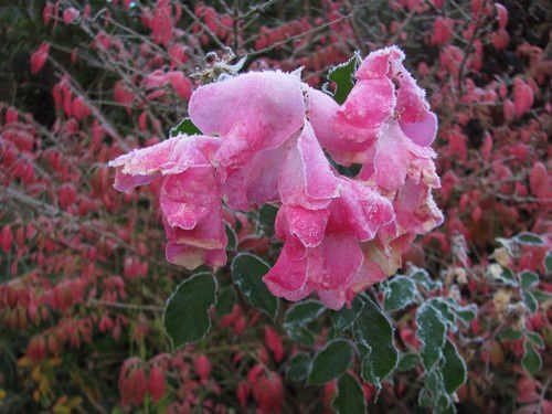 rosa-Rosy-Cushion-7-nov-14.jpg