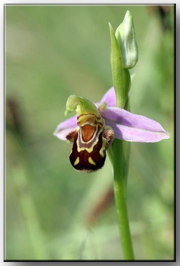 IMG-9039-Ophrys-abeille-72.jpg