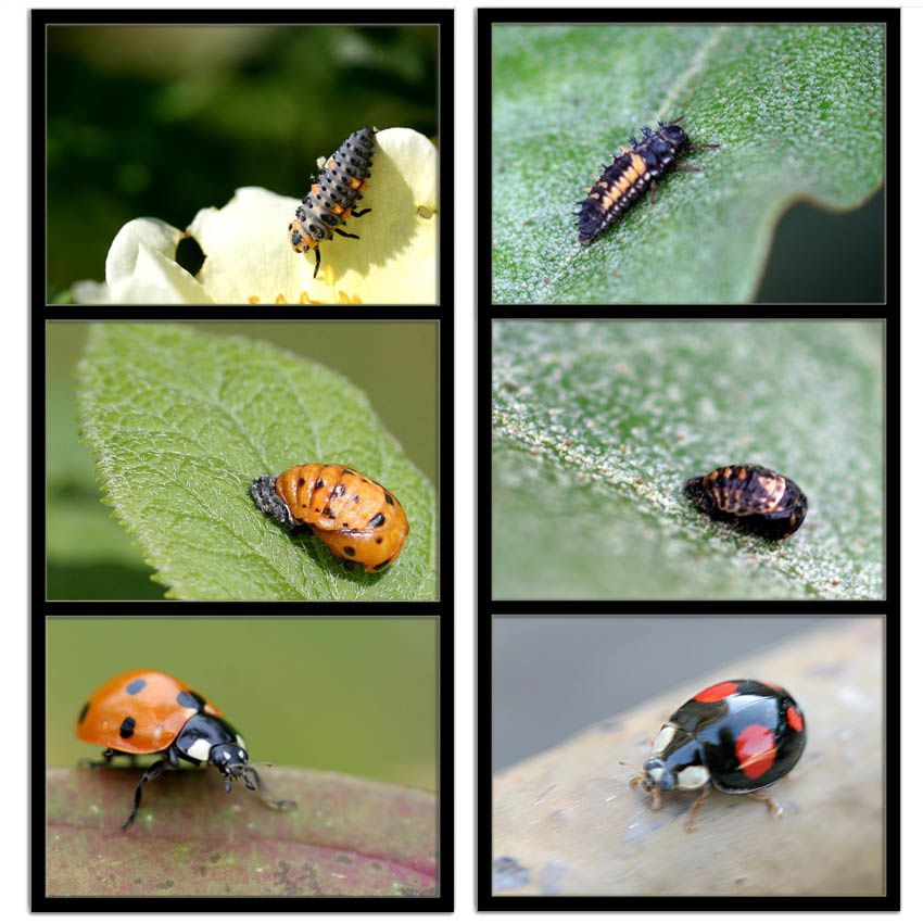 Coccinnelles-7-points---asiatique-OK.jpg
