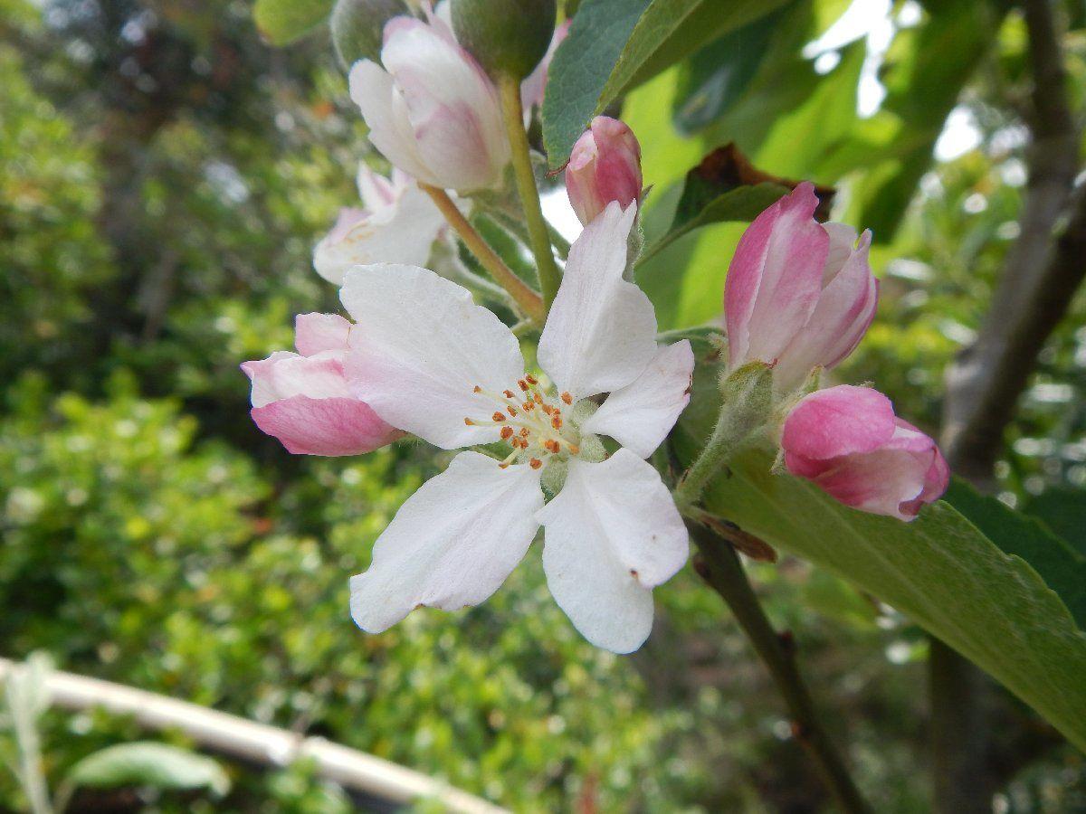 Fleurs de fruitiers le du levant domaine naturiste d 39 h liopolis cit du soleil - Fleur du soleil ...