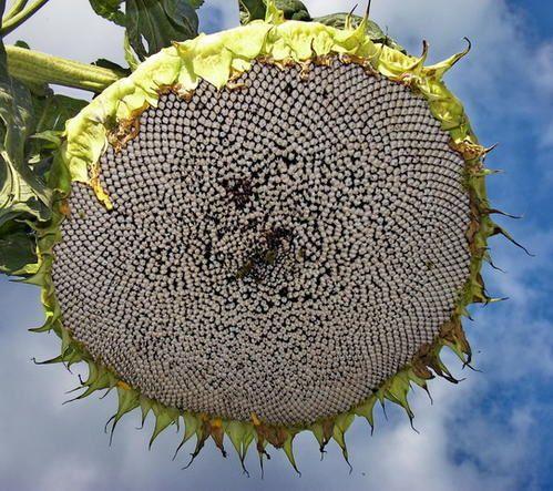 graines-tournesol.jpg