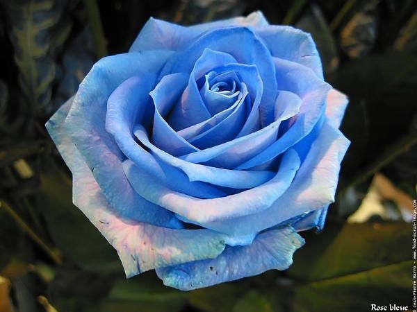 photo-rose​-photo-ros​e-bleue-01