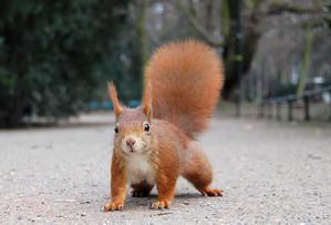 wikimedia ecureuil roux red squirrel