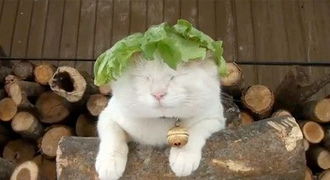 chat-salade