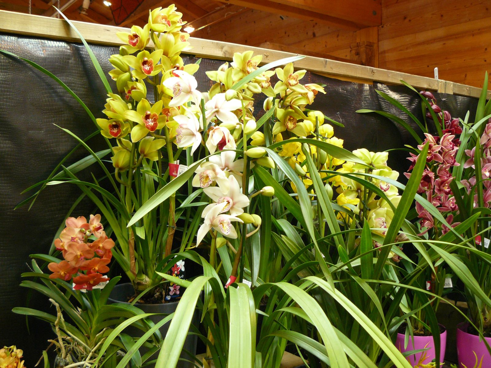 orchidee variete