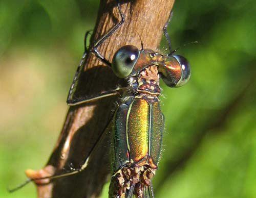 Lestes-viridis-9856.jpg
