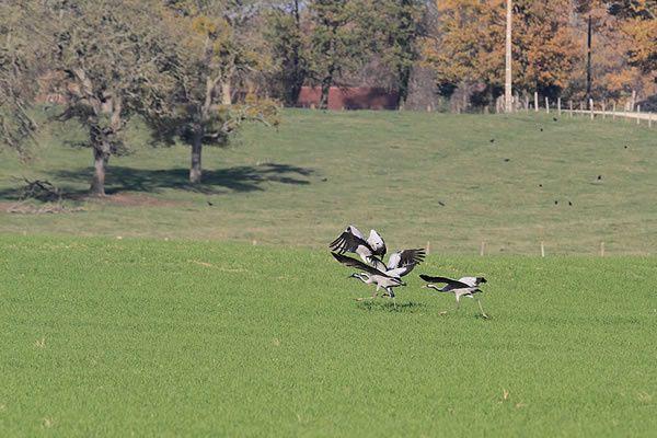 Les-Oiseaux-7 9683 - Oiseau
