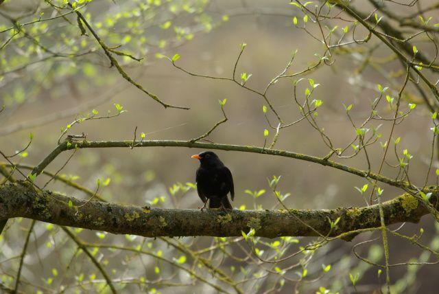 merle noir ornithoblog dijon