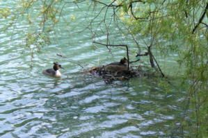 grebe-en-couple.JPG