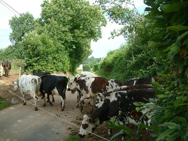 traversee-vaches.JPG