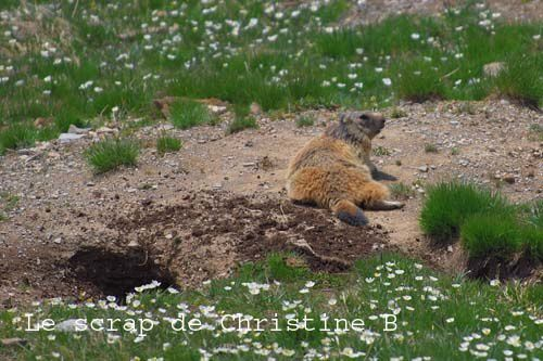Marmottes 0115 copie