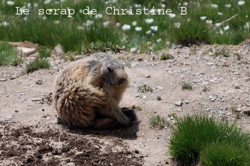 Marmottes 0119 copie