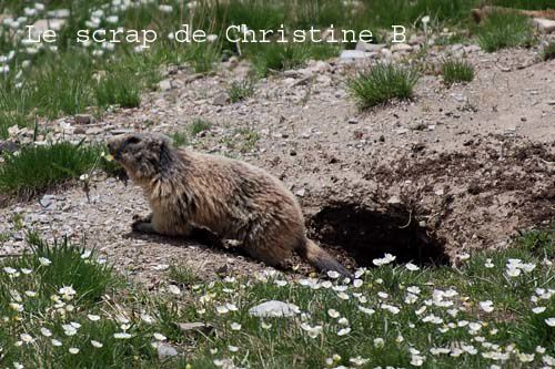 Marmottes 0123 copie