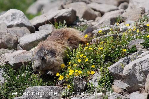 Marmottes 0128 copie