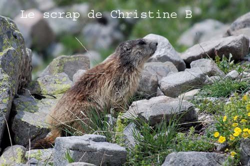 Marmottes 0133 copie