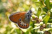 coenonympha_orientalis_neil_thompson_18095.jpg