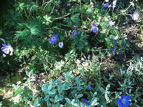 geranium-vivace.jpg