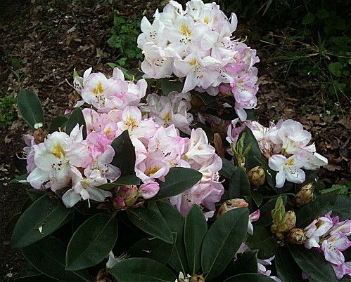 rhododendron-rose-dragee.jpg
