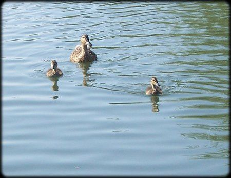 canards a sommieres 2