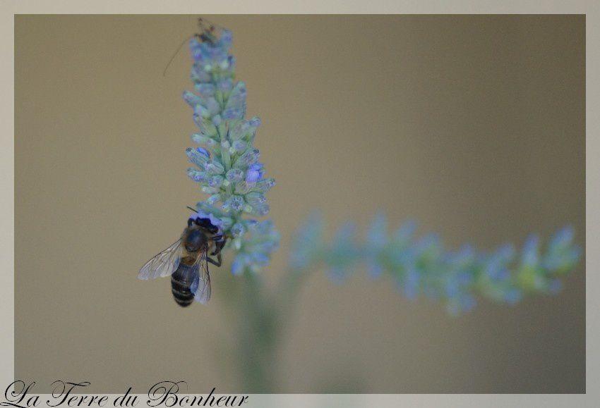abeille-sur-lavande-1-copie-1.jpg