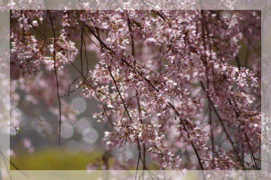 arbre fleurs roses petites 1