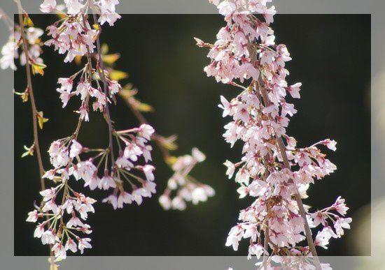 arbre fleurs roses petites 5