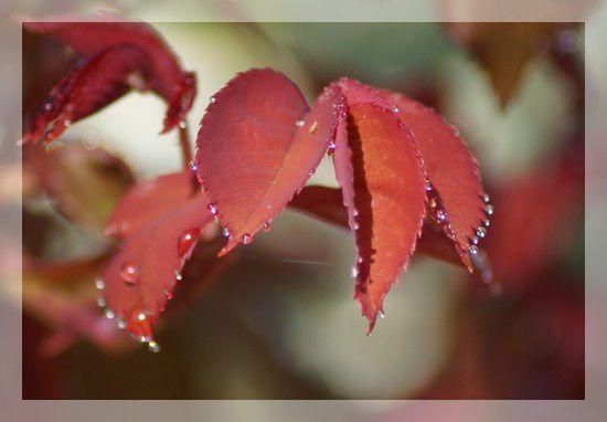 rosier sous la rosée 4