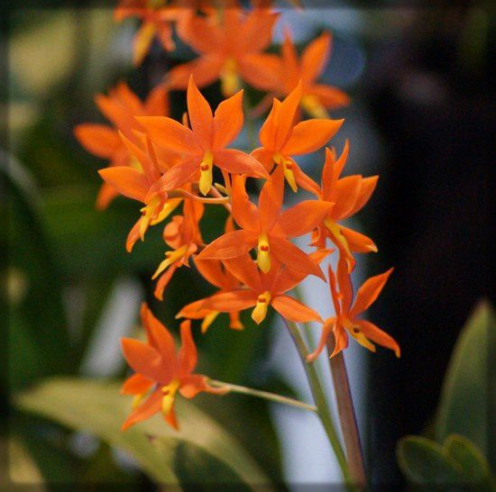 orchidee 24