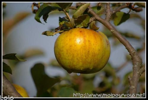 Pomme-canada.jpg