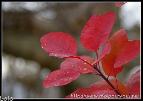 cotinus----l-automne.jpg