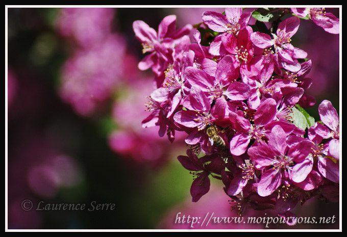 malus-ornemental-fleurs-roses.jpg