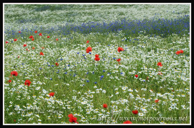 bleuets-camomilles-coquelicots.jpg