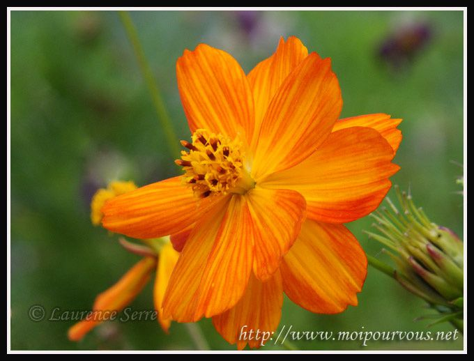 Cosmos-orange.jpg