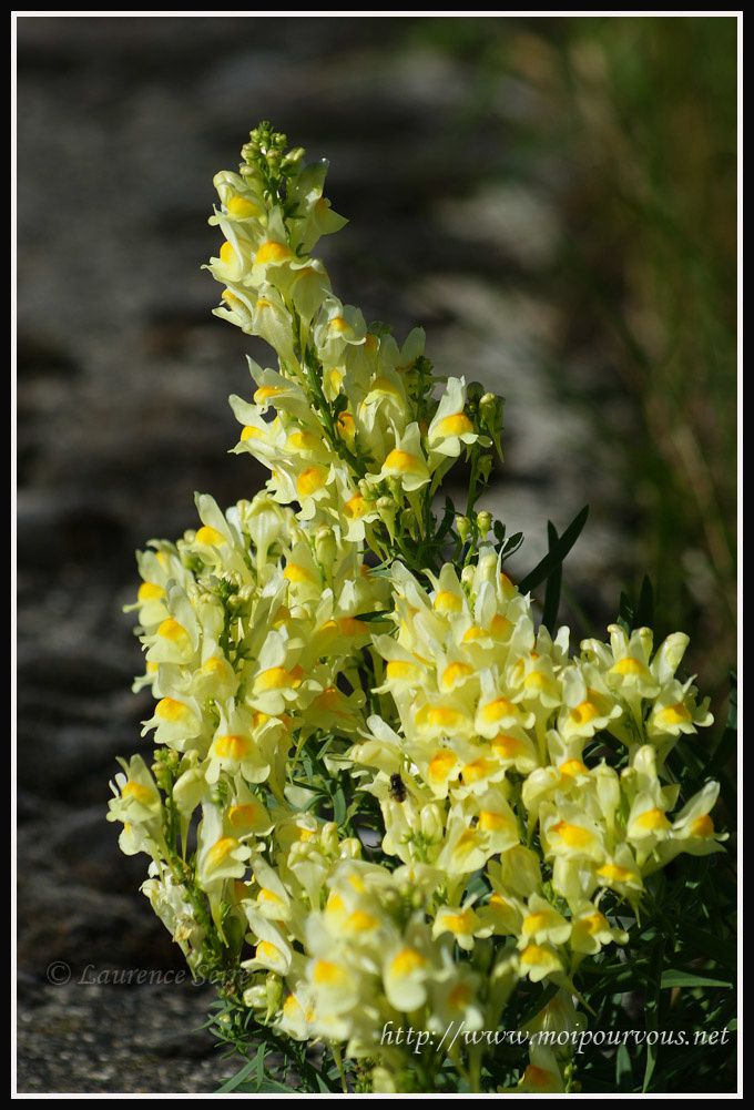 Linaire-commune--scrophulariacees.jpg