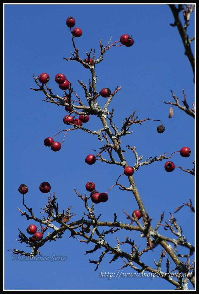 fruits-rouges-de-l-aubepine.jpg