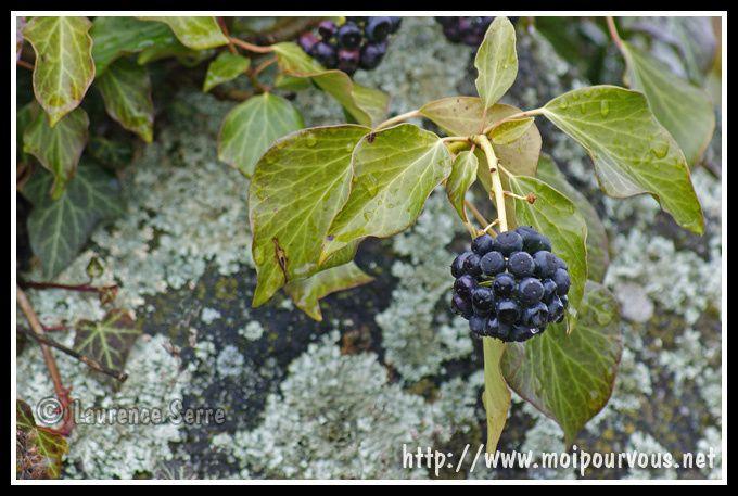 le-fruits-du-lierre--photo-prise-au-Broc-63.jpg