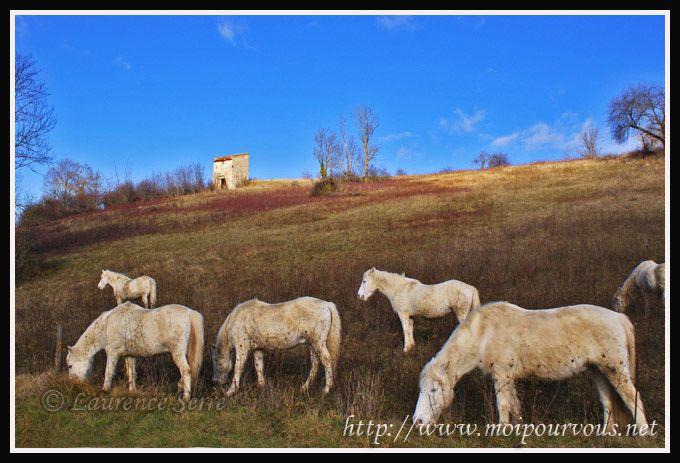 Chevaux-beiges-vers-Mailhat-puy-de-dome.jpg