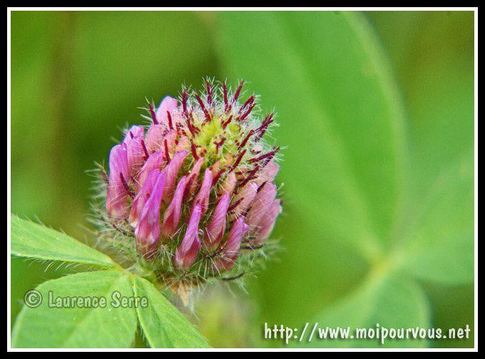 fleur-de-trefle-rose.jpg