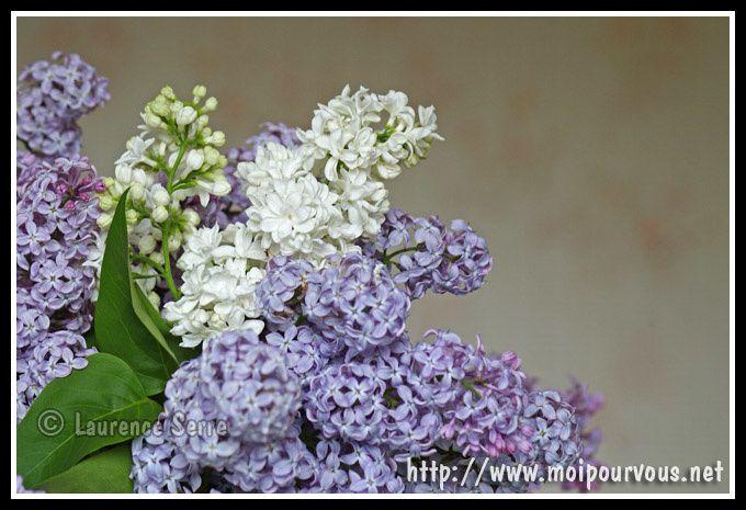 fleurs-de-lilas.jpg