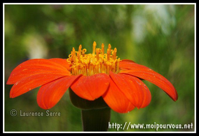 zinnia-orange.jpg