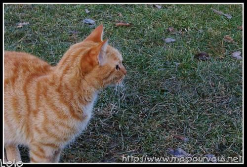 chat-roux-profil.jpg