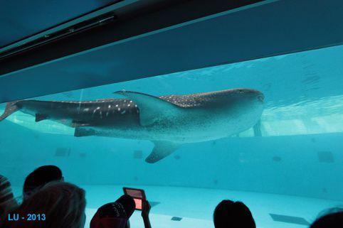 Yokohama requin baleine IMG 8946