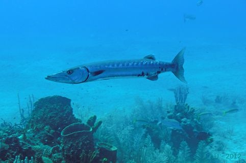 Statia 2012 double wreck barracuda 1875m
