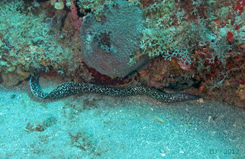 Statia 2012 double wreck murene tachetee 1872m1