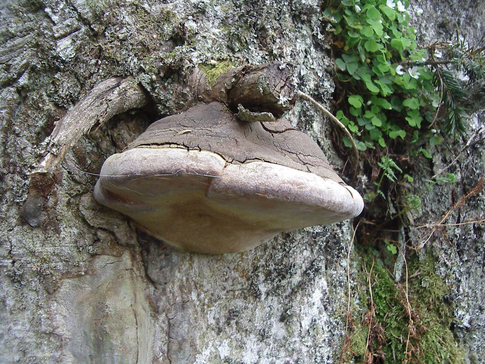 Retour la croix de b liou la nature bigourdane au printemps lieux secrets du pays cathare - Champignon sur tronc d arbre ...