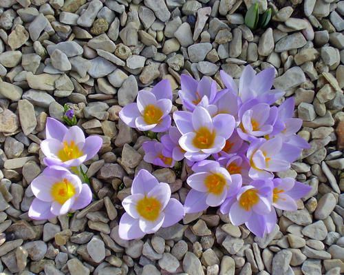 Les-Crocus-copie-1.JPG