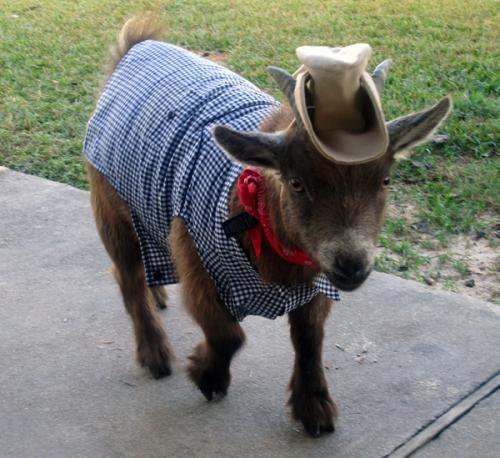 goat cowboy