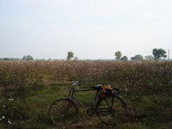 a--Champs-de-coton-Punjab.JPG