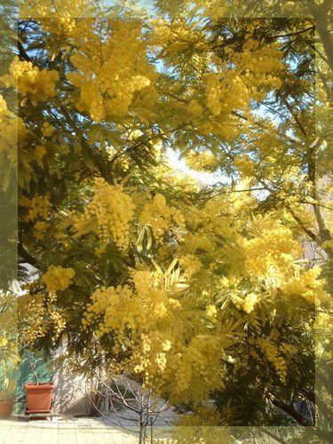 mimosa-detail_1.jpg